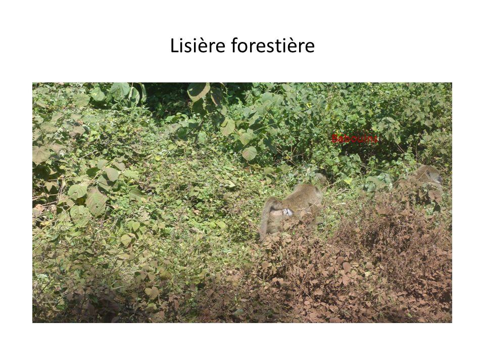 Lisière forestière Babouins