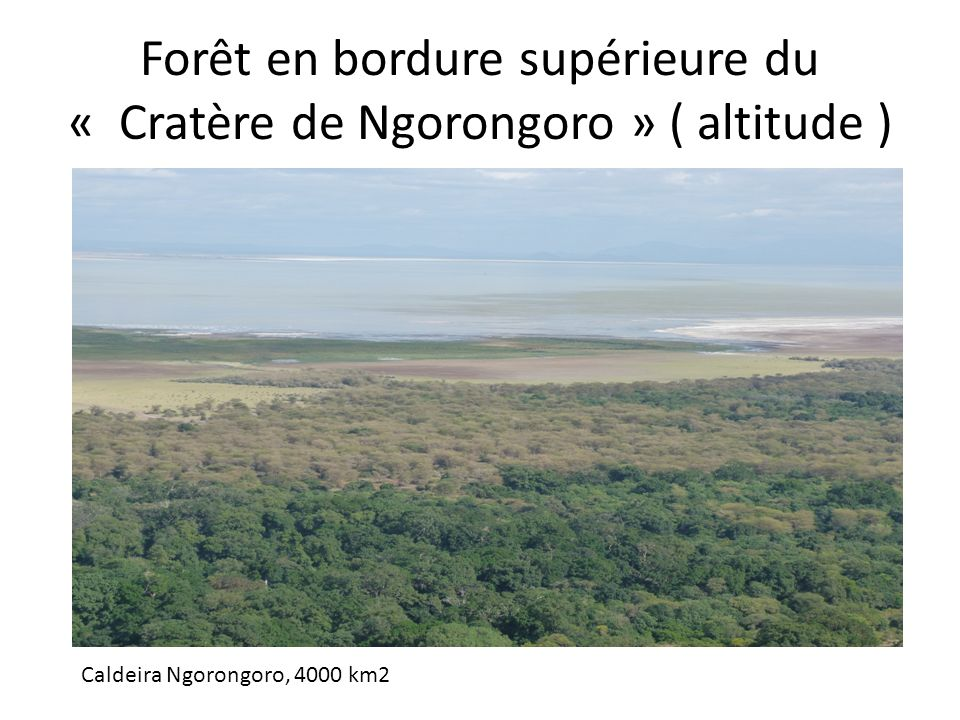 Forêt en bordure supérieure du « Cratère de Ngorongoro » ( altitude ) Caldeira Ngorongoro, 4000 km2