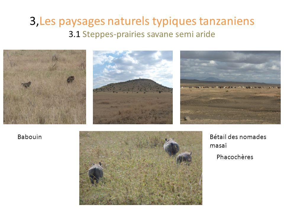 3,Les paysages naturels typiques tanzaniens 3.1 Steppes-prairies savane semi aride Phacochères Bétail des nomades masaï Babouin