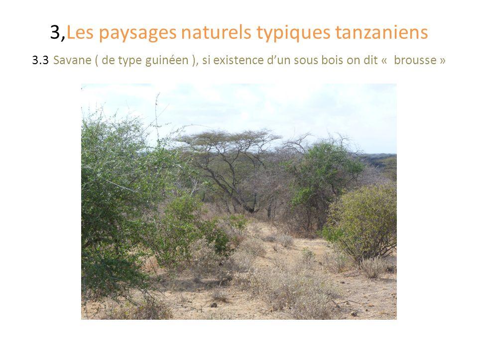 3,Les paysages naturels typiques tanzaniens 3.3 Savane ( de type guinéen ), si existence dun sous bois on dit « brousse »