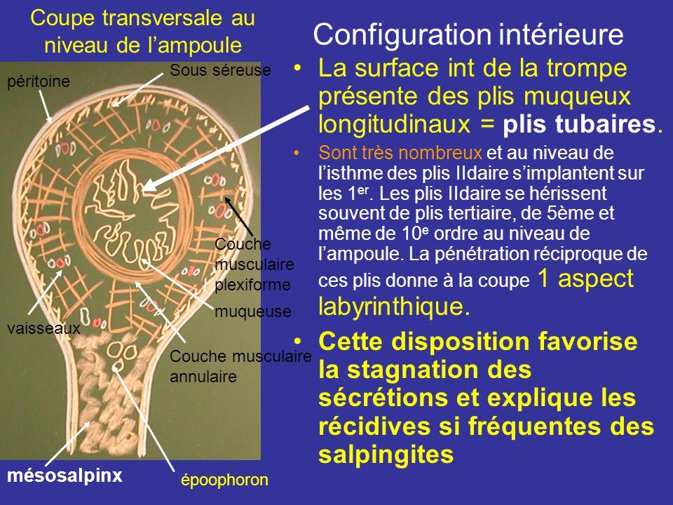 Linfundibulum tubaire 1 base libre festonnée en une série de franges tubaires, au nb de 10 à 15, L 10 mm. La plus longue adhérente au ligt infundibulo