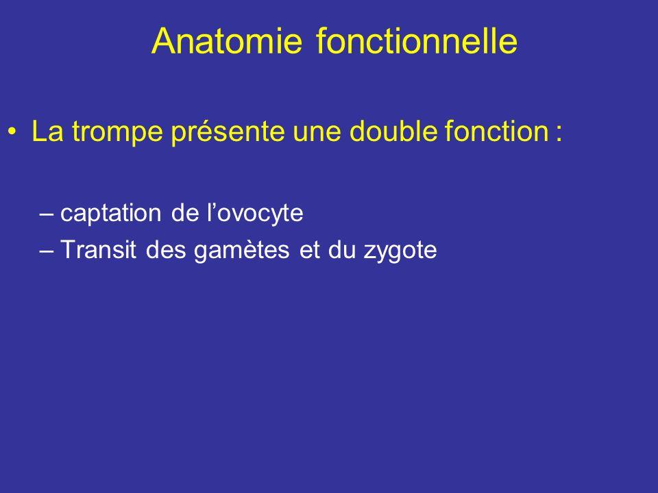 structure La tunique séreuse = couche péritonéale La tunique sous séreuse = couche conjonctive contenant les Vx et N La tunique musculaire comprend –1