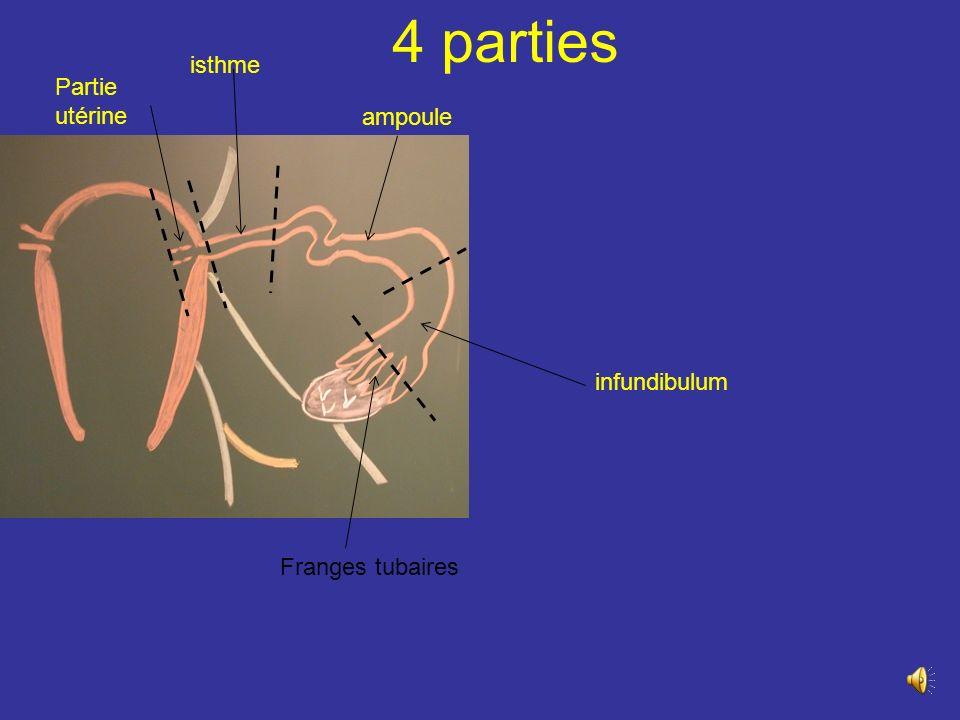 Rapport dans le mésosalpinx Le bord mésosalpingien de la trompe est en rapport avec: les arcades vasculaires infra tubaires et les nerfs de la trompe les reliquats embryonnaires : le conduit longitudinal de lépoophoron, le paraphoron situé sous listhme tubaire, lappendice vésiculeux, appendu à lextrémité de linfundibulum et quelquefois des vestiges aberrants de la surrénale ovaire A utérine A ovarique Arcade anastomotique