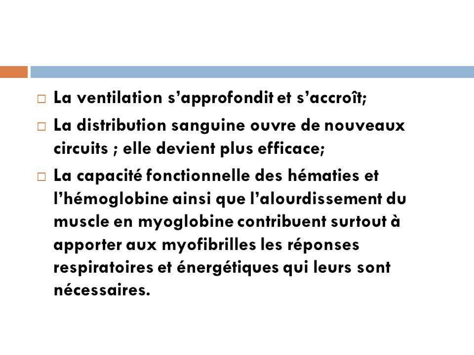 La ventilation sapprofondit et saccroît; La distribution sanguine ouvre de nouveaux circuits ; elle devient plus efficace; La capacité fonctionnelle d