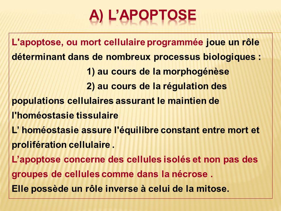 L'apoptose, ou mort cellulaire programmée joue un rôle déterminant dans de nombreux processus biologiques : 1) au cours de la morphogénèse 2) au cours