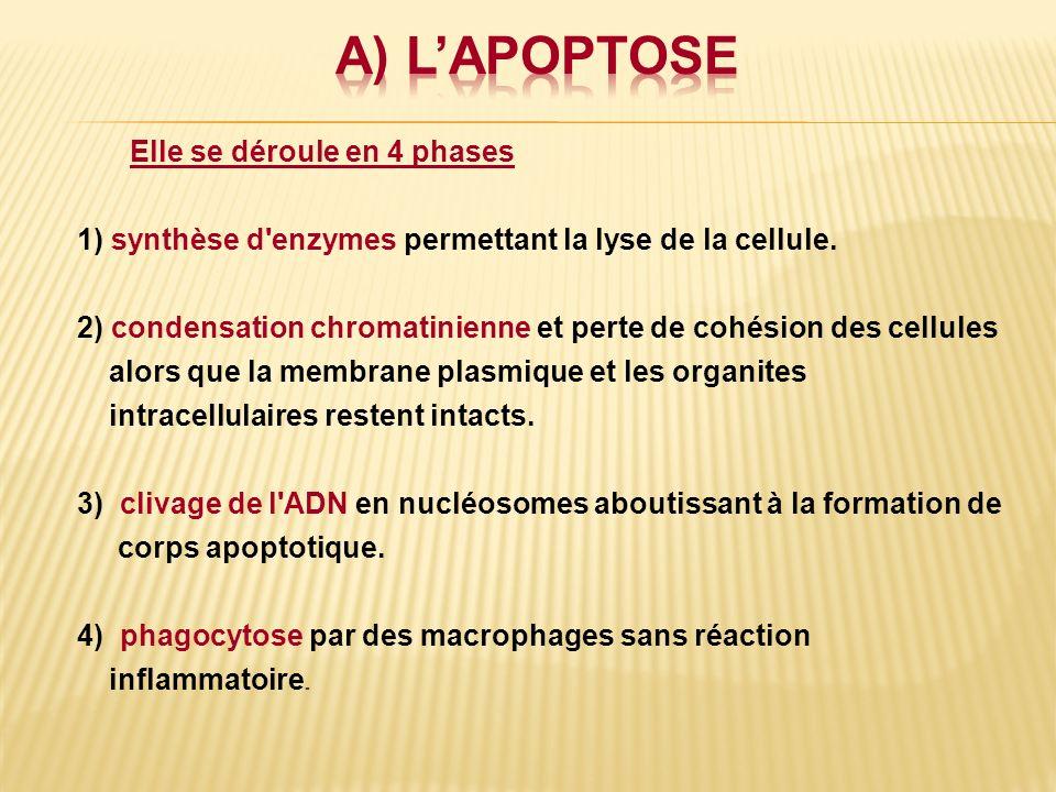 Elle se déroule en 4 phases 1) synthèse d'enzymes permettant la lyse de la cellule. 2) condensation chromatinienne et perte de cohésion des cellules a