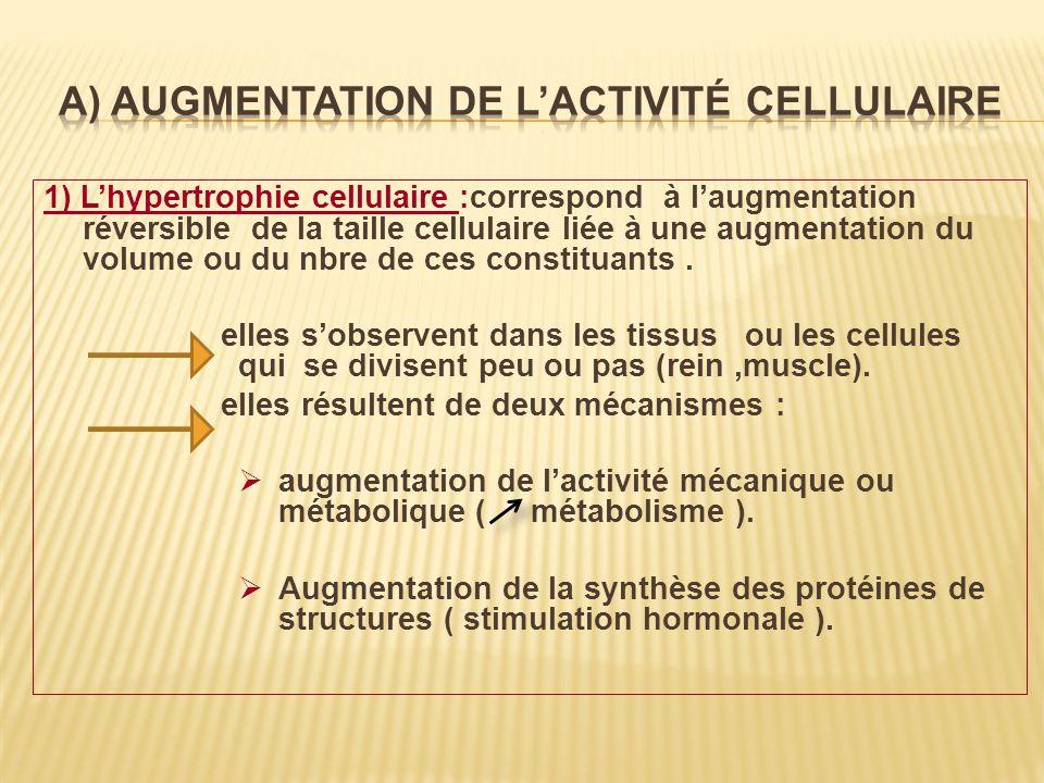 1) Lhypertrophie cellulaire :correspond à laugmentation réversible de la taille cellulaire liée à une augmentation du volume ou du nbre de ces constit
