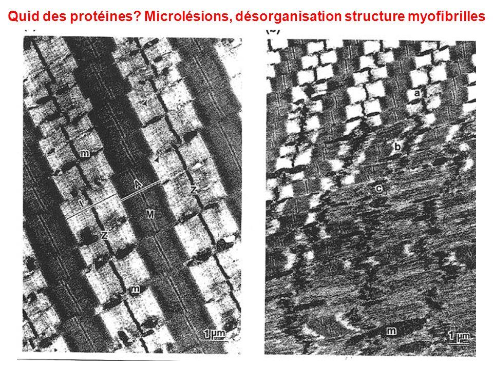 Quid des protéines? Microlésions, désorganisation structure myofibrilles