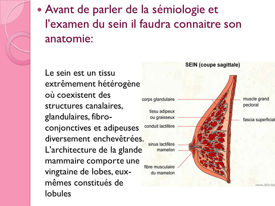 Avant de parler de la sémiologie et lexamen du sein il faudra connaitre son anatomie: Le sein est un tissu extrêmement hétérogène où coexistent des st