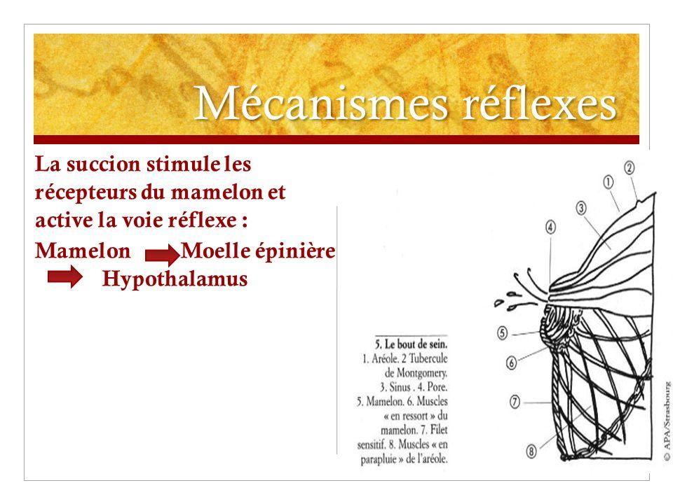 Mécanismes réflexes La succion stimule les récepteurs du mamelon et active la voie réflexe : Mamelon Moelle épinière Hypothalamus