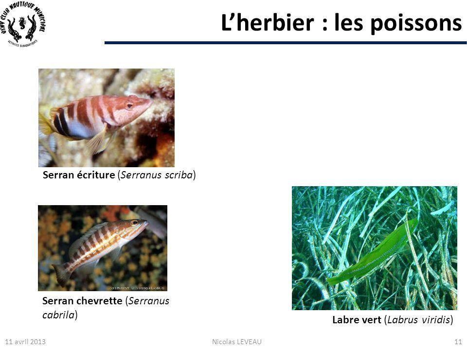Lherbier : les poissons 11 avril 2013Nicolas LEVEAU11 Labre vert (Labrus viridis) Serran écriture (Serranus scriba) Serran chevrette (Serranus cabrila