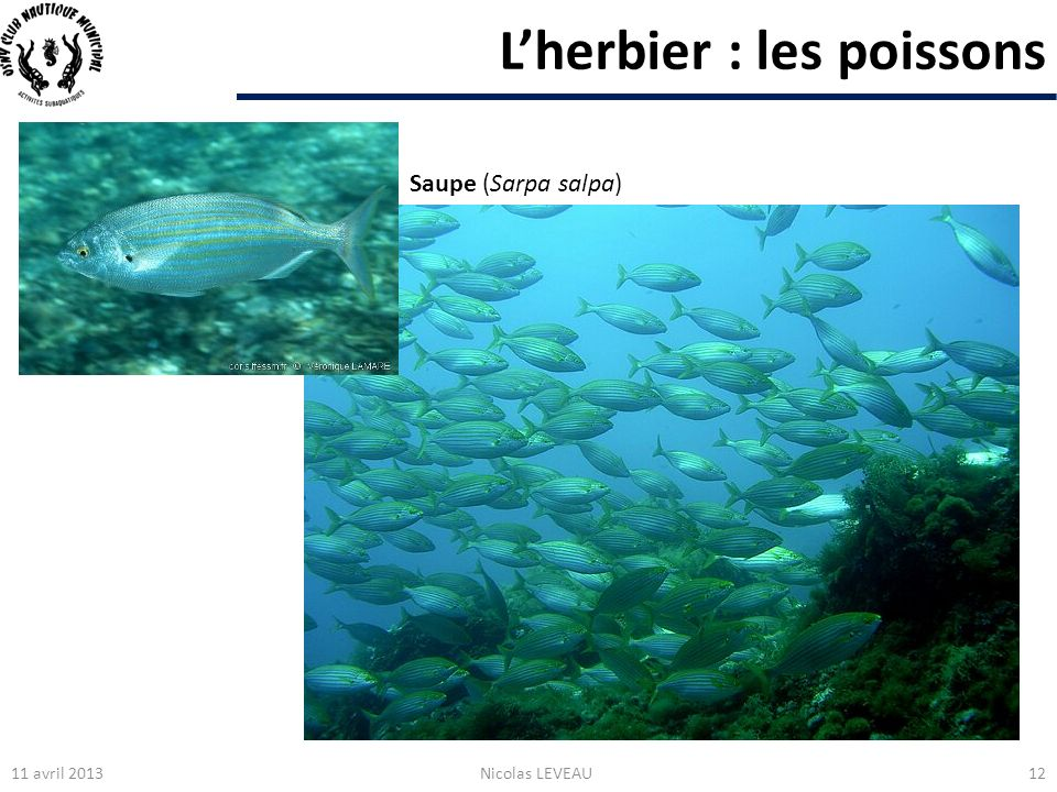 Lherbier : les poissons 11 avril 2013Nicolas LEVEAU12 Saupe (Sarpa salpa)