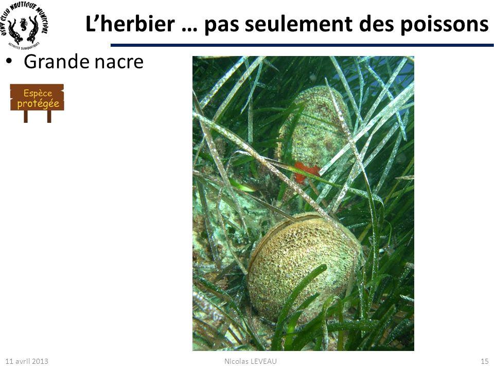Lherbier … pas seulement des poissons Grande nacre 11 avril 2013Nicolas LEVEAU15