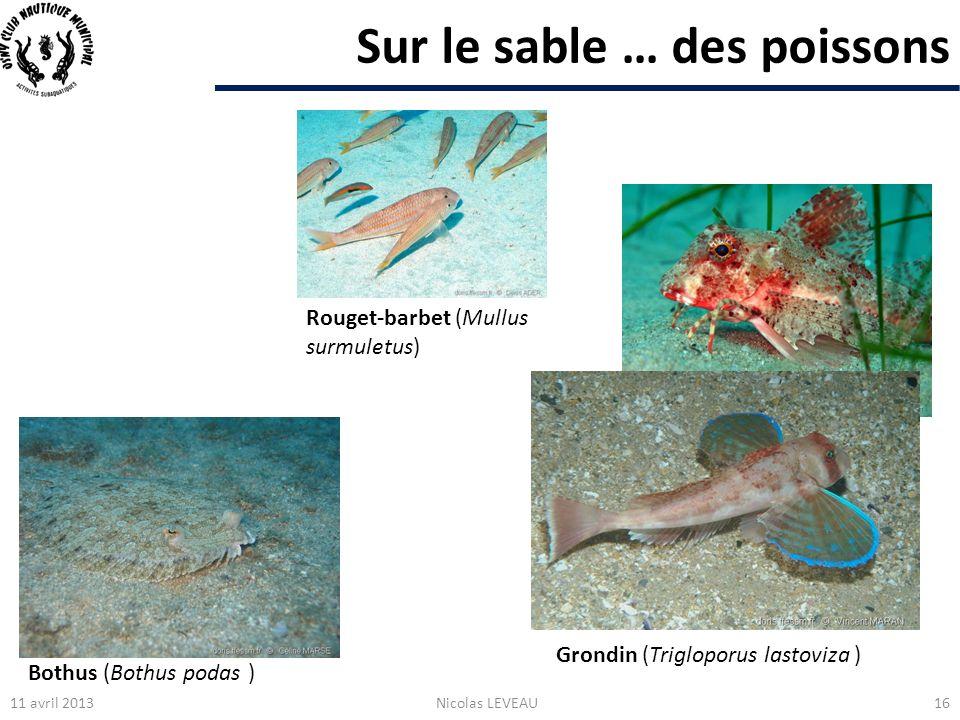Sur le sable … des poissons 11 avril 2013Nicolas LEVEAU16 Grondin (Trigloporus lastoviza ) Bothus (Bothus podas ) Rouget-barbet (Mullus surmuletus)