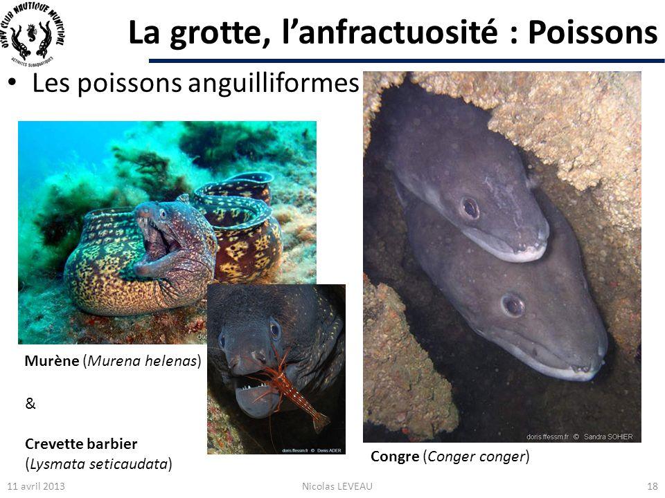 La grotte, lanfractuosité : Poissons Les poissons anguilliformes 11 avril 2013Nicolas LEVEAU18 Congre (Conger conger) Murène (Murena helenas) & Crevet