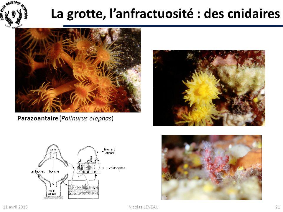 La grotte, lanfractuosité : des cnidaires 11 avril 2013Nicolas LEVEAU21 Parazoantaire (Palinurus elephas)