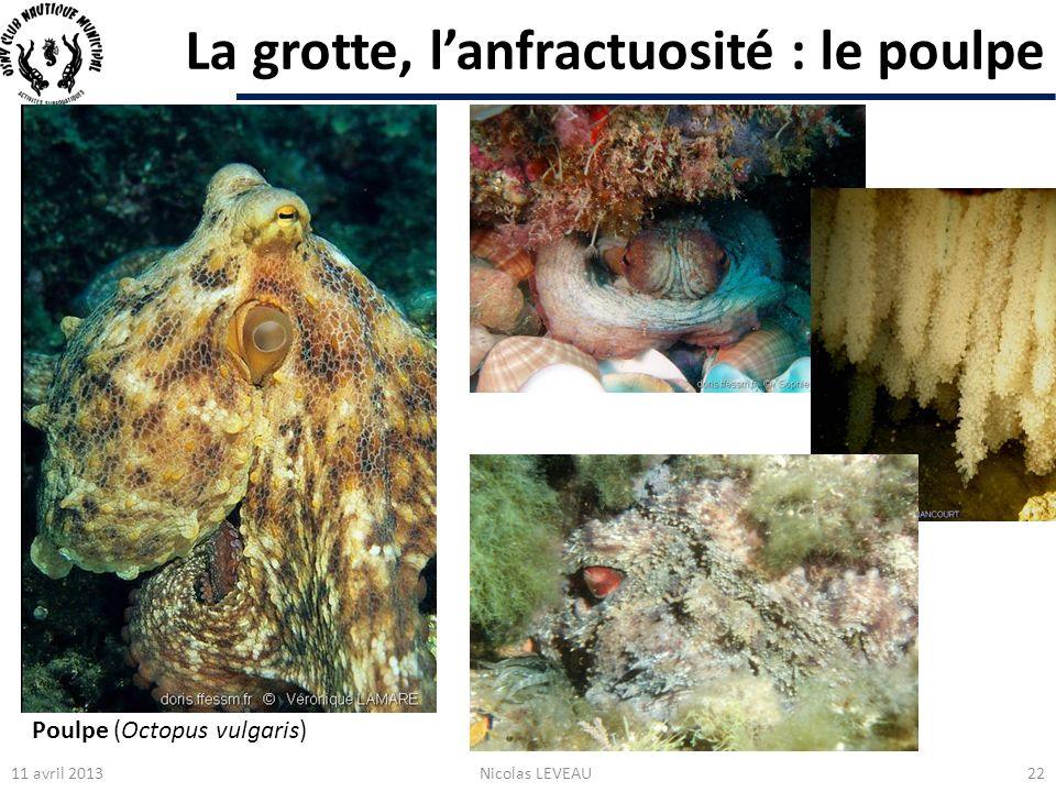 La grotte, lanfractuosité : le poulpe 11 avril 2013Nicolas LEVEAU22 Poulpe (Octopus vulgaris)