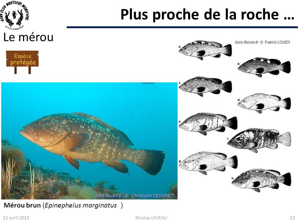 Plus proche de la roche … Le mérou 11 avril 2013Nicolas LEVEAU23 Mérou brun (Epinephelus marginatus )