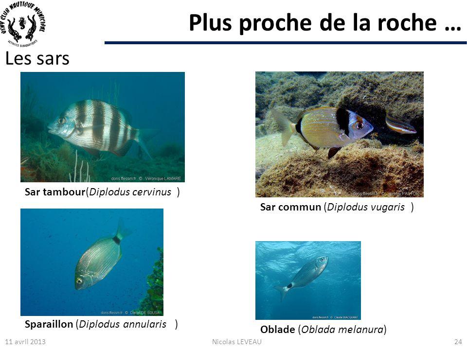 Plus proche de la roche … 11 avril 2013Nicolas LEVEAU24 Sar commun (Diplodus vugaris ) Les sars Sar tambour(Diplodus cervinus ) Sparaillon (Diplodus a
