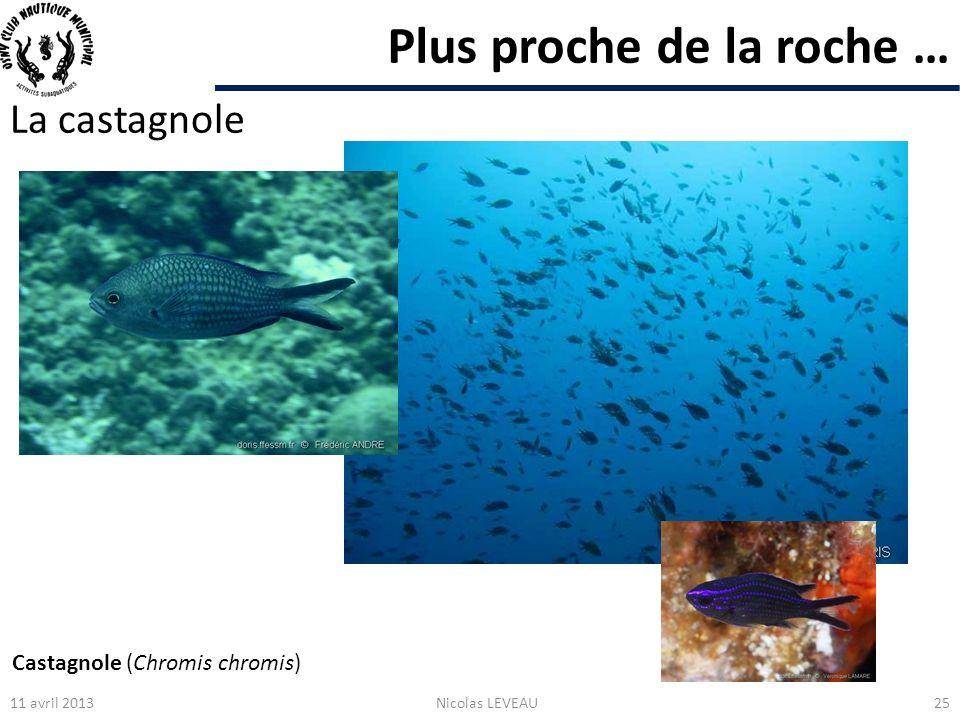 Plus proche de la roche … La castagnole 11 avril 2013Nicolas LEVEAU25 Castagnole (Chromis chromis)