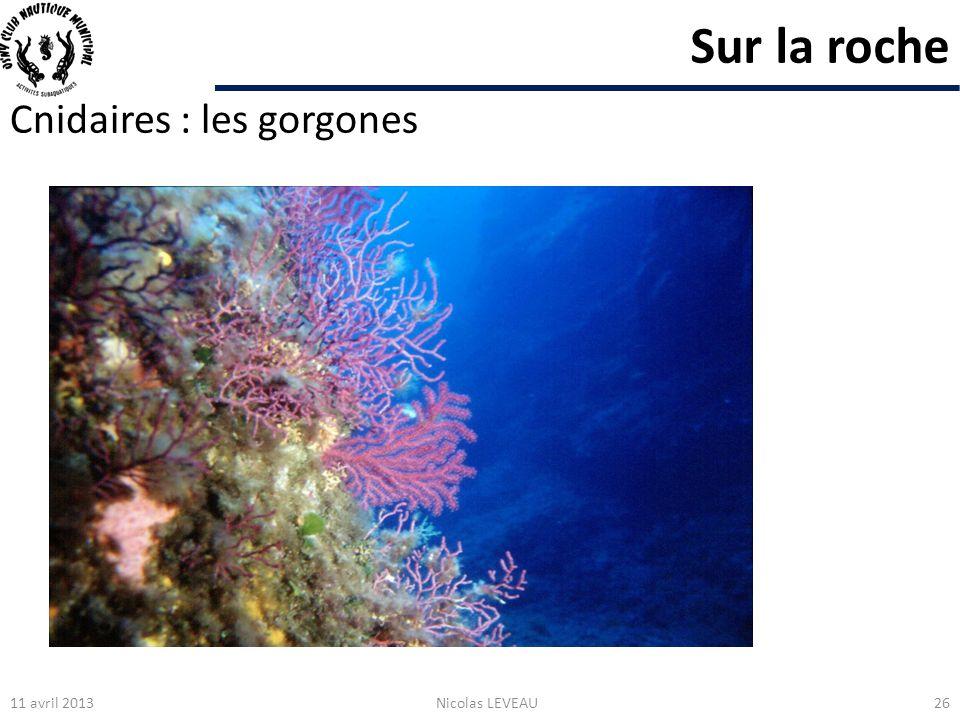 Sur la roche Cnidaires : les gorgones 11 avril 2013Nicolas LEVEAU26