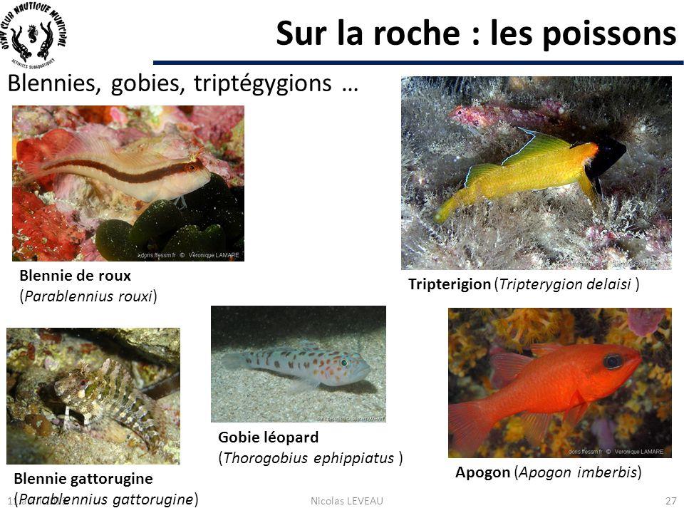 Sur la roche : les poissons Blennies, gobies, triptégygions … 11 avril 2013Nicolas LEVEAU27 Blennie de roux (Parablennius rouxi) Tripterigion (Tripter