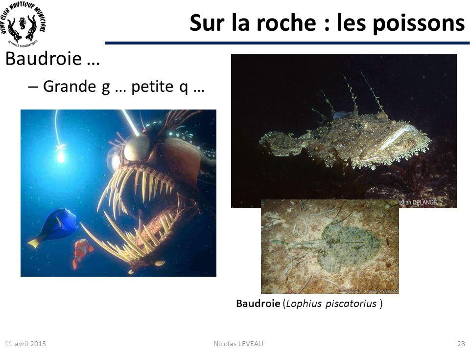 Sur la roche : les poissons Baudroie … – Grande g … petite q … 11 avril 2013Nicolas LEVEAU28 Baudroie (Lophius piscatorius )