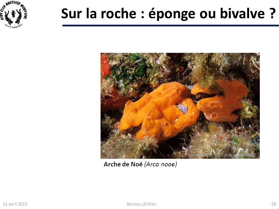 Sur la roche : éponge ou bivalve ? 11 avril 2013Nicolas LEVEAU29 Arche de Noé (Arca noae)