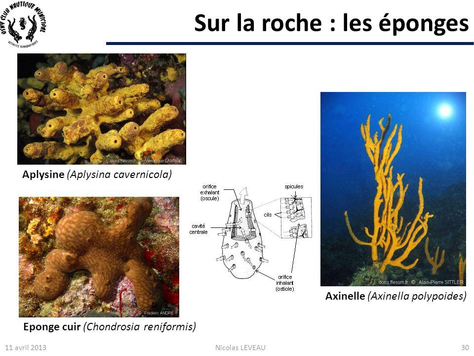 Sur la roche : les éponges 11 avril 2013Nicolas LEVEAU30 Axinelle (Axinella polypoides) Eponge cuir (Chondrosia reniformis) Aplysine (Aplysina caverni