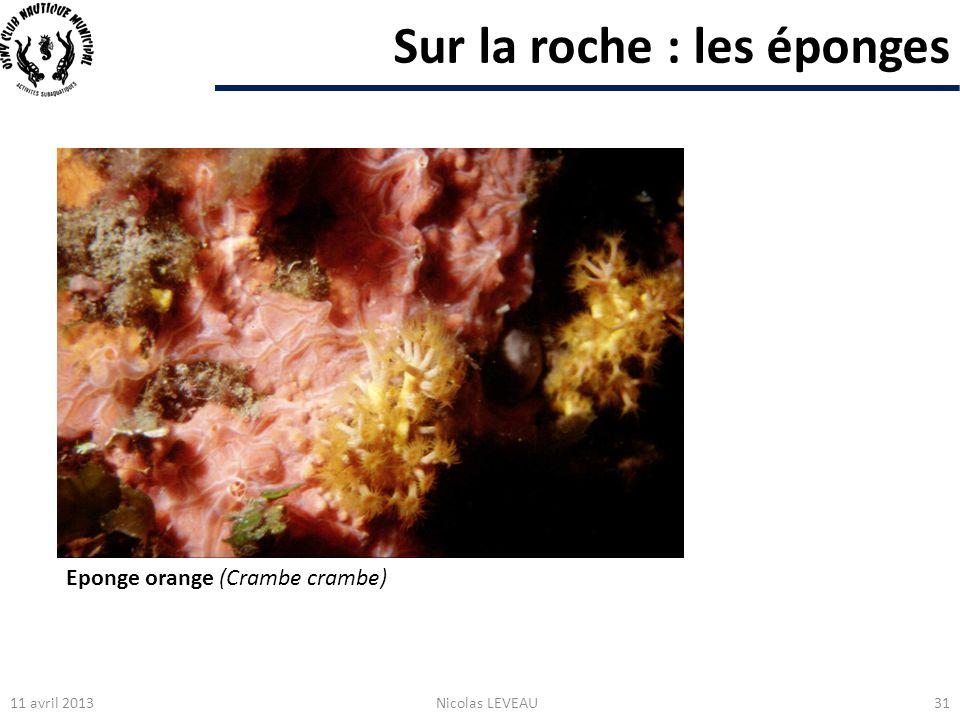 Sur la roche : les éponges 11 avril 2013Nicolas LEVEAU31 Eponge orange (Crambe crambe)