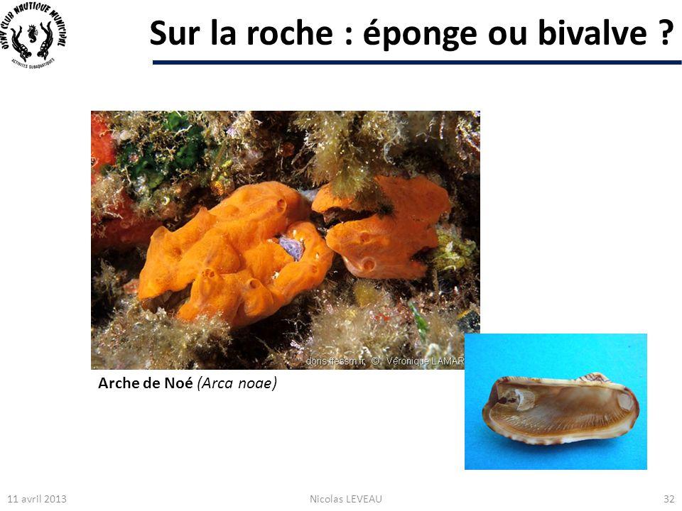 Sur la roche : éponge ou bivalve ? 11 avril 2013Nicolas LEVEAU32 Arche de Noé (Arca noae)
