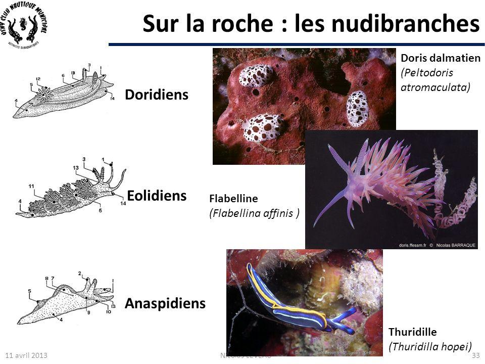 Sur la roche : les nudibranches 11 avril 2013Nicolas LEVEAU33 Eolidiens Doridiens Anaspidiens Doris dalmatien (Peltodoris atromaculata) Flabelline (Fl