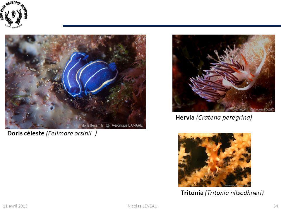 11 avril 2013Nicolas LEVEAU34 Tritonia (Tritonia nilsodhneri) Doris céleste (Felimare orsinii ) Hervia (Cratena peregrina)