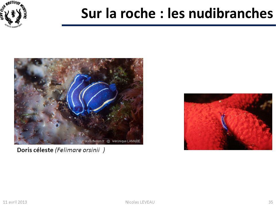 Sur la roche : les nudibranches 11 avril 2013Nicolas LEVEAU35 Doris céleste (Felimare orsinii )