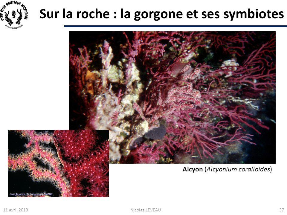 Sur la roche : la gorgone et ses symbiotes 11 avril 2013Nicolas LEVEAU37 Alcyon (Alcyonium coralloides)