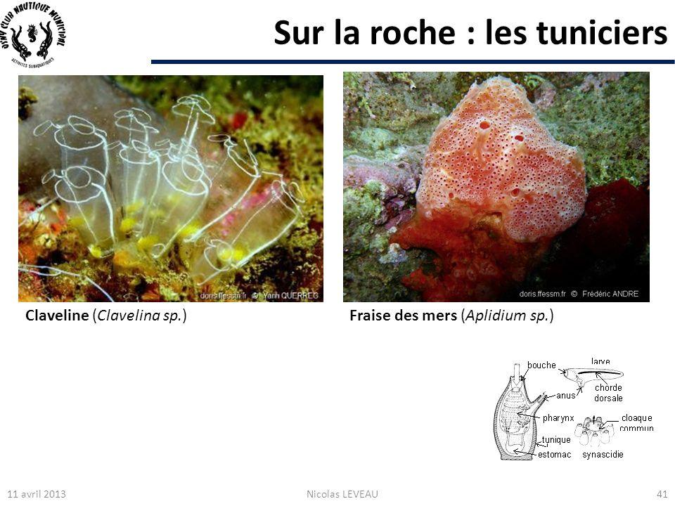 Sur la roche : les tuniciers 11 avril 2013Nicolas LEVEAU41 Claveline (Clavelina sp.)Fraise des mers (Aplidium sp.)