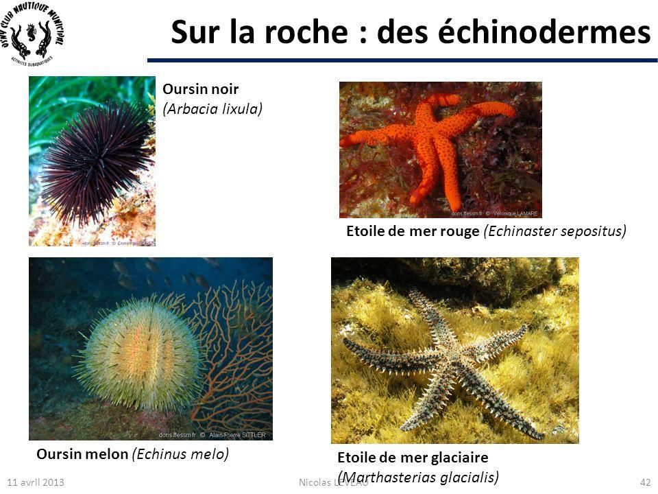 Sur la roche : des échinodermes 11 avril 2013Nicolas LEVEAU42 Oursin noir (Arbacia lixula) Etoile de mer rouge (Echinaster sepositus) Oursin melon (Ec