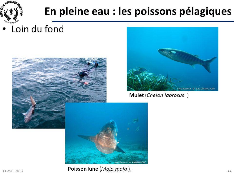 En pleine eau : les poissons pélagiques Loin du fond 11 avril 2013Nicolas LEVEAU44 Mulet (Chelon labrosus ) Poisson lune (Mola mola )