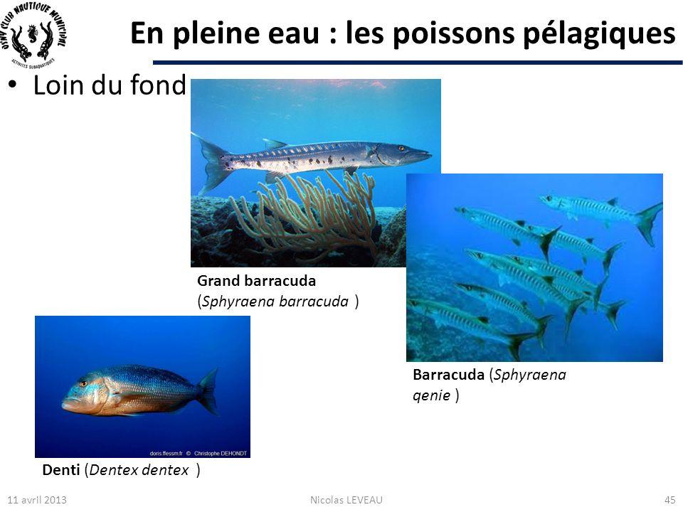 En pleine eau : les poissons pélagiques Loin du fond 11 avril 2013Nicolas LEVEAU45 Grand barracuda (Sphyraena barracuda ) Barracuda (Sphyraena qenie )