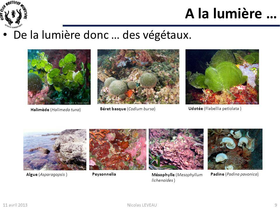 A la lumière … De la lumière donc … des végétaux. Halimède (Halimeda tuna) Udotée (Flabellia petiolata ) Béret basque (Codium bursa) Algue (Asparagops