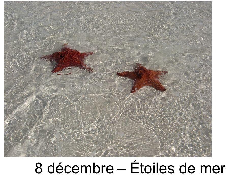 8 décembre – Étoiles de mer