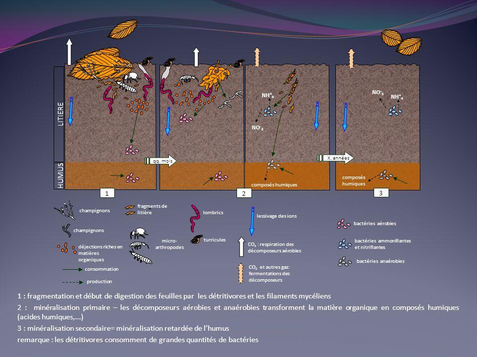 1 : fragmentation et début de digestion des feuilles par les détritivores et les filaments mycéliens 2 : minéralisation primaire – les décomposeurs aérobies et anaérobies transforment la matière organique en composés humiques (acides humiques,...) 3 : minéralisation secondaire= minéralisation retardée de lhumus remarque : les détritivores consomment de grandes quantités de bactéries LITIERE HUMUS NH + 4 NO - 3 composés humiques NO - 3 NH + 4 composés humiques qq.