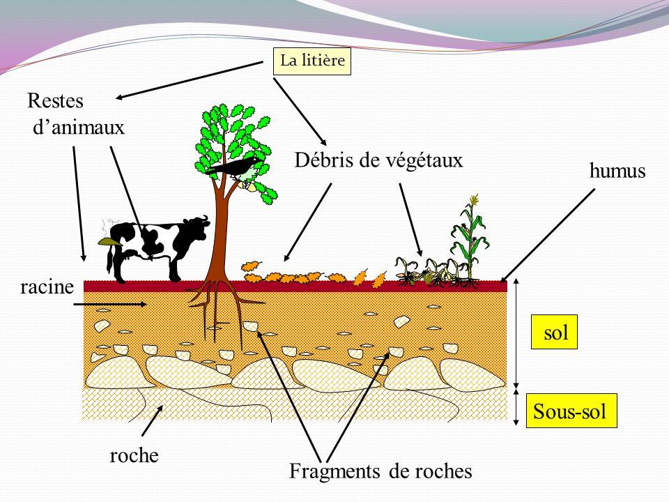 sol Sous-sol Débris de végétaux Restes danimaux roche Fragments de roches humus racine La litière