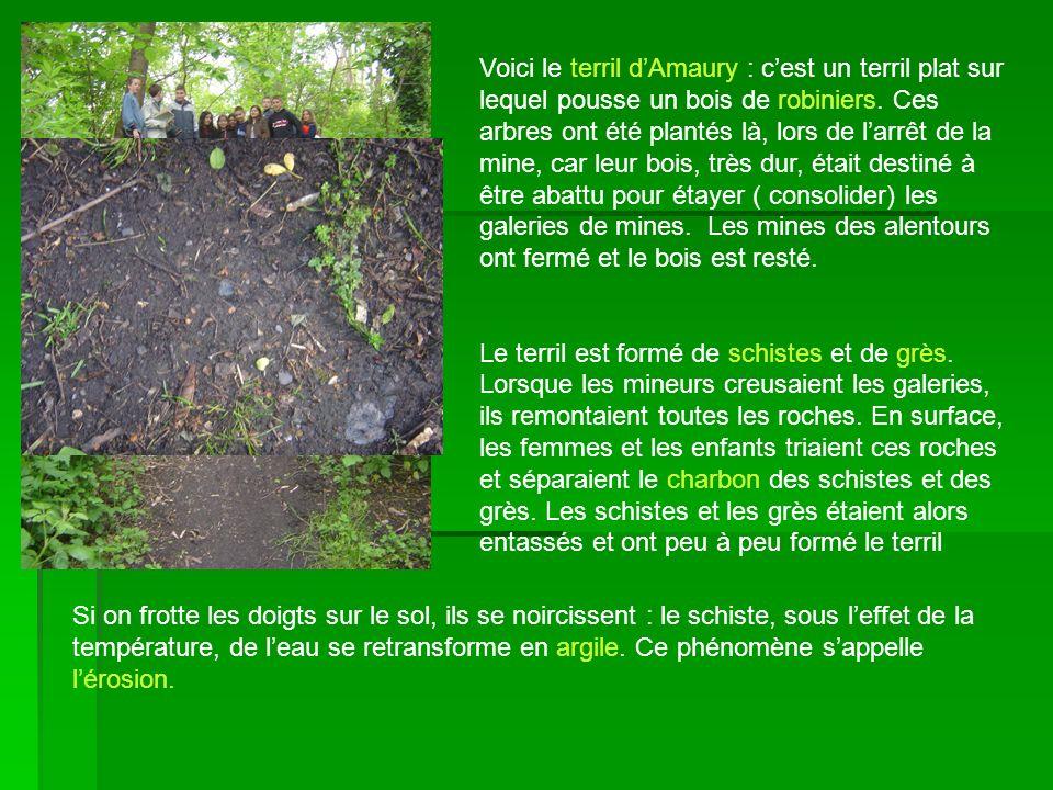 Voici le terril dAmaury : cest un terril plat sur lequel pousse un bois de robiniers. Ces arbres ont été plantés là, lors de larrêt de la mine, car le