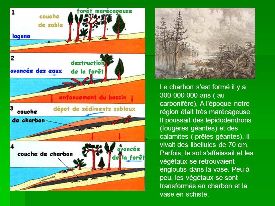 Le charbon sest formé il y a 300 000 000 ans ( au carbonifère). A lépoque notre région était très marécageuse. Il poussait des lépidodendrons (fougère