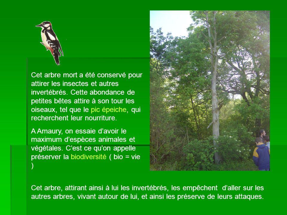 Cet arbre mort a été conservé pour attirer les insectes et autres invertébrés. Cette abondance de petites bêtes attire à son tour les oiseaux, tel que