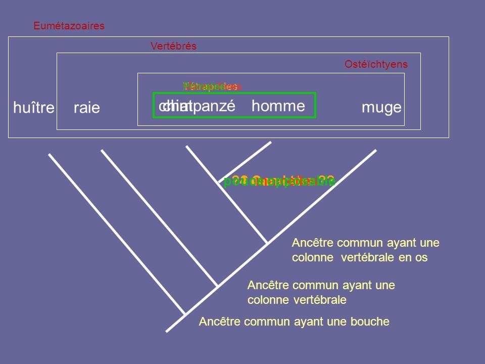 chat muge Ancêtre commun ayant une colonne vertébrale en os raiehuître Ancêtre commun ayant une bouche Ancêtre commun ayant une colonne vertébrale Eum