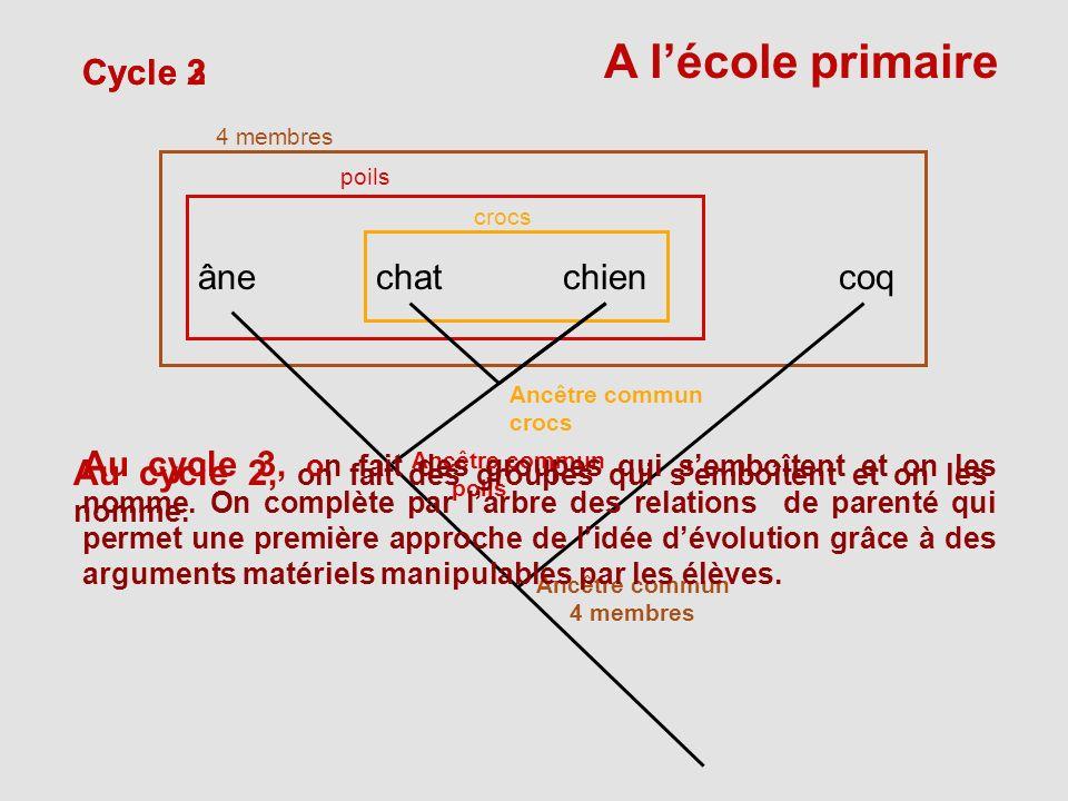coqânechatchien crocs poils 4 membres Cycle 3Cycle 2 Ancêtre commun crocs A lécole primaire Ancêtre commun poils Ancêtre commun 4 membres Au cycle 2,