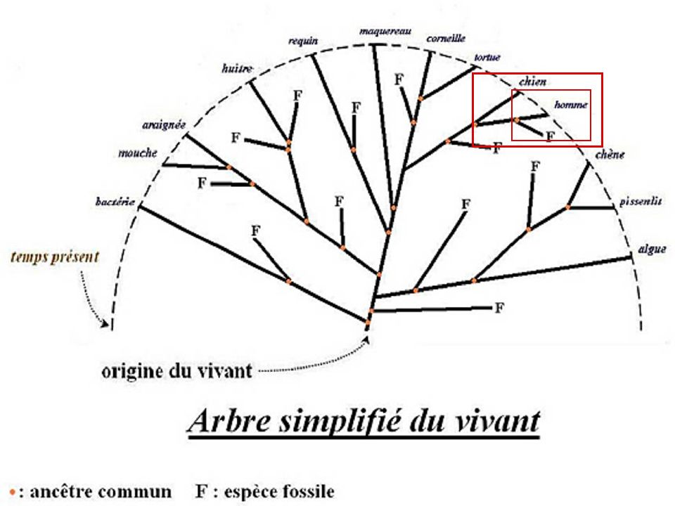 chat muge Ancêtre commun ayant une colonne vertébrale en os raiehuitre Ancêtre commun ayant une bouche Ancêtre commun ayant une colonne vertébrale …Ma