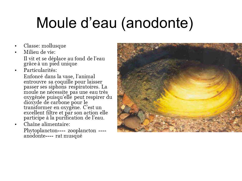 Moule deau (anodonte) Classe: mollusque Milieu de vie: Il vit et se déplace au fond de leau grâce à un pied unique Particularités: Enfoncé dans la vas
